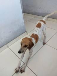 Vendo cachorra americana mestiça de beagle