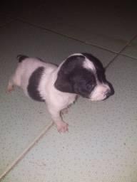 Vende-se um cachorrinho poodle macho
