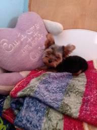 Canil pets oliveira disponibiliza machinho de yorkshire terrier