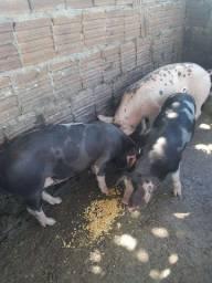 Vendo raça de porco