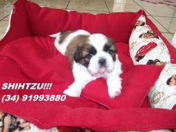 Shihtzu Machinho Tricolor com pedigree Disponível em 10 x sem Juros no Cartão