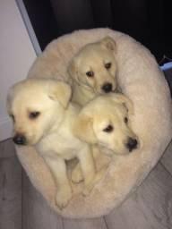 Labrador chocolate/amarelo/preto, machos e fêmeas com garantias e suportes exclusivos!