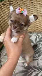 Lindos filhotinhos de Chihuahua!! Disponíveis pronta entrega!!