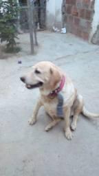 Procuro um cachorro da raça labrador em Caruaru