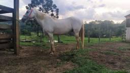 Cavalo Crioulo com quarto de milha
