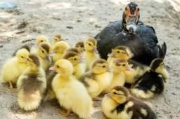Patos filhotes