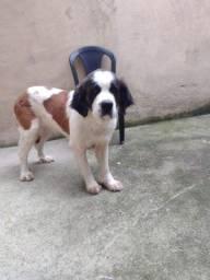 São Bernardo femia 1 ano