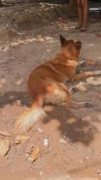 Cachorra pastor alemão pura