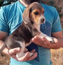 Beagle macho vacinado e vermifugado
