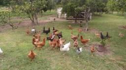 Galo. Galinhas e frangos