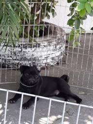 Pug Disponíveis com pedigree