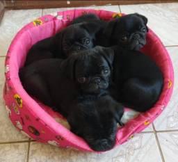 Vendo filhotes Pug preto