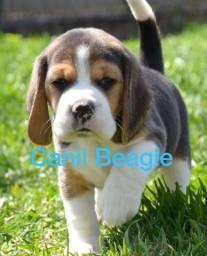 Beagle Filhote 13 Polegadas Mini com Pedigree e Garantia de Saude