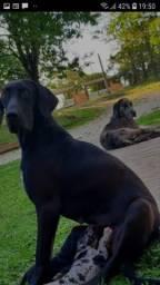 Fêmea Dog alemão