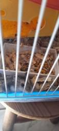 Hamster anão filhote