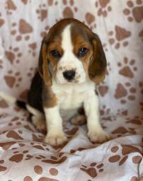 Beagle 13 polegadas (mini) com pedigree e microchip até 18x