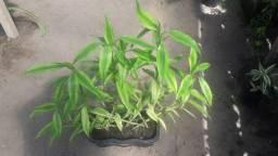 Bambú da sorte - Planta ornamental