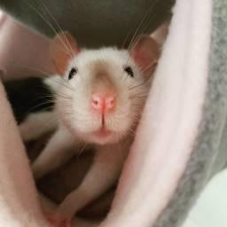 Adoção responsável de 5 ratinhas domésticas