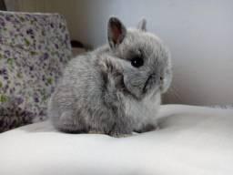 Título do anúncio: Anão netherland dwarf - os menor coelhos