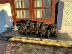 Labrador chocolate/amarelo/preto, machos e fêmeas