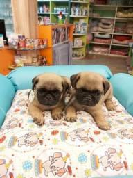 Baby pug com garantia e qualidade!!!
