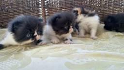 Filhotes de Gatos Himalia