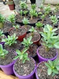 Rosa do deserto Arabicum com sete meses