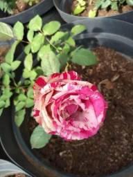 Rosas em vasos vendo