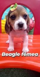 Lindíssima filhotes de Beagle