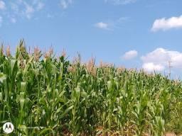 Pouco mais de meio hectare de milho