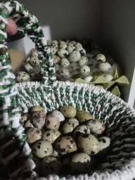 Ovos galados d codorna gigante
