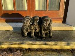 Labrador filhotes maravilhoso,