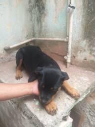 Título do anúncio: Vendo filhote de Rottweiler