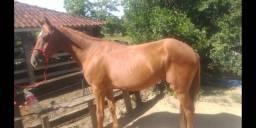 Cavalo MM picado