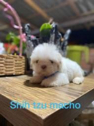 Shih tzu macho branco de olho azul!!