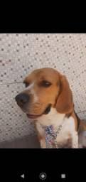 Beagle a procura de uma namorada