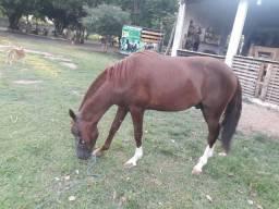 Cavalo potro qm top em várzea Grande mt