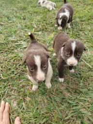 Border collie marron pronta entrega