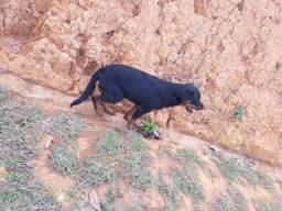 Rottweiler de 2 anos
