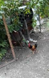 Casal Galo e galinha