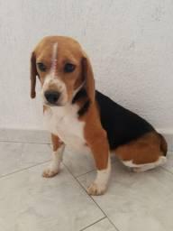 Fêmea de Beagle 13 polegadas prenha vendo ou troco