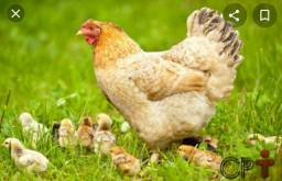 Procuro galinhas caipiras