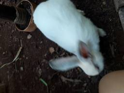 Vendo coelha gigante