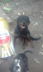 Rottweiler com pedigre
