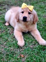 Título do anúncio: Golden filhotes melhor amigo