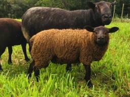 Mini ovelha Black Texel (borrego)macho