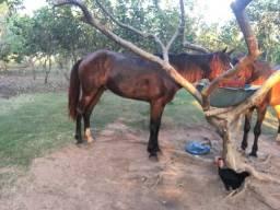 Cavalo a venda 4 anos marchador