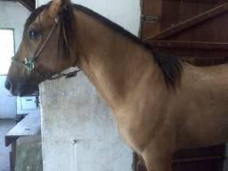 Vendo Cavalo Crioulo