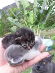 Filhotes de gato Persa/Angorá