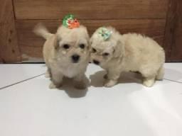 Filhote de Poodle Toy Femea e Macho